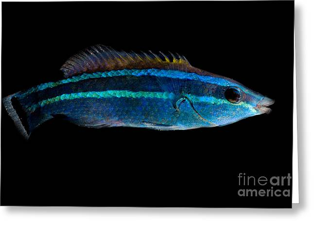 Reef Fish Greeting Cards - Red Sea Cleaner Wrasse Greeting Card by Danté Fenolio