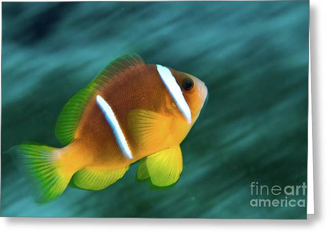 Aquatic Greeting Cards - Red Sea clownfish  Greeting Card by Hagai Nativ