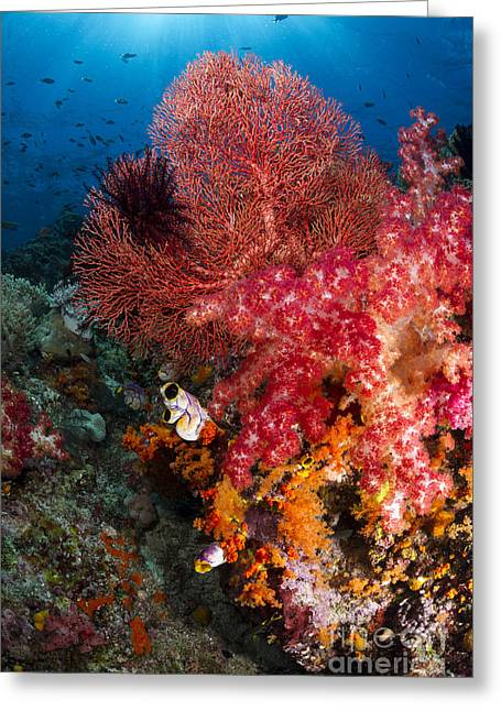 Undersea Photography Greeting Cards - Red Sea Fan And Soft Coral In Raja Greeting Card by Todd Winner