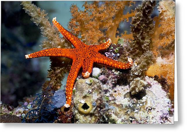 Invertebrates Greeting Cards - Red Seastar Greeting Card by Georgette Douwma