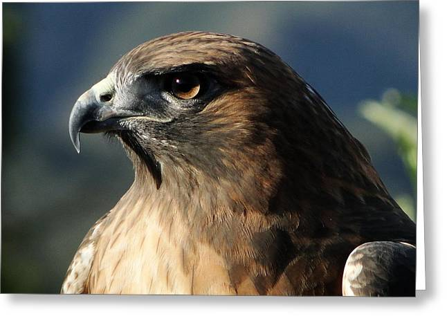 Red Shouldered Hawk Greeting Cards - Red Shoulder Hawk Greeting Card by Liz Vernand