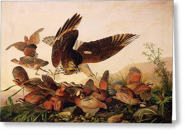 Ornithology Paintings Greeting Cards - Red Shouldered Hawk Attacking Bobwhite Partridge Greeting Card by John James Audubon