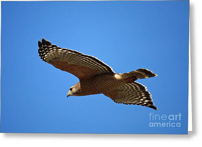 Red Shouldered Hawk In Flight Greeting Card by Carol Groenen