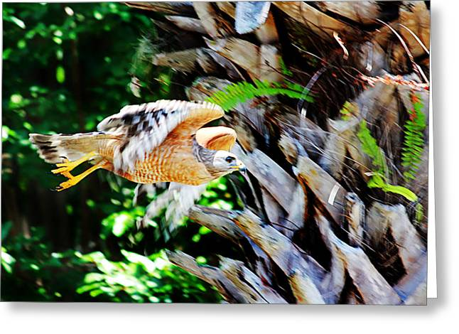 Hungry Fly Greeting Cards - Red-shouldered Hawk Greeting Card by Jeff Stein