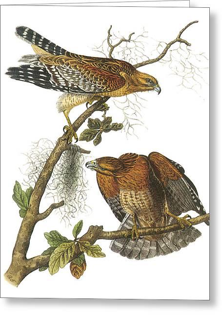 Predatory Greeting Cards - Red-Shouldered Hawk Greeting Card by John James Audubon