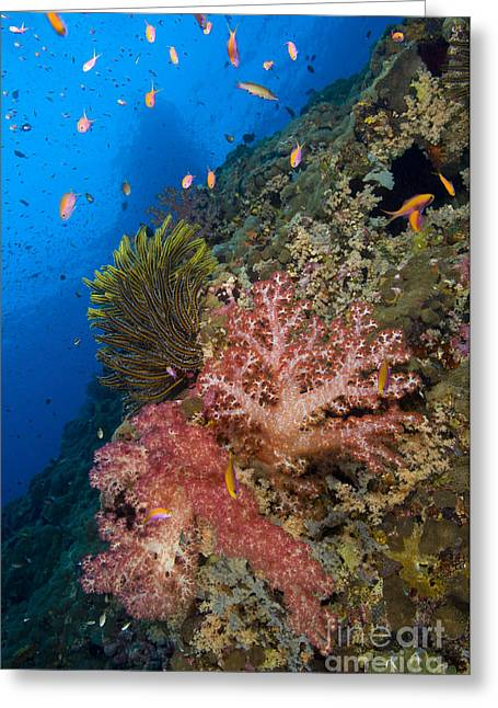 Red Soft Coral With Crinoid And Anthias Greeting Card by Steve Jones