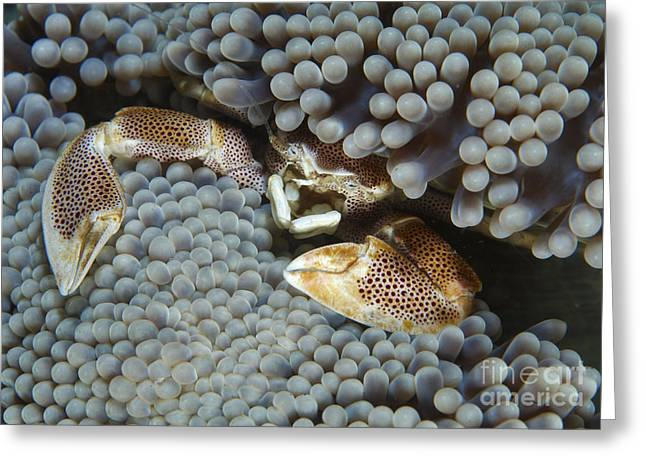 Emergence Greeting Cards - Red-spotted Porcelain Crab Hiding Greeting Card by Mathieu Meur
