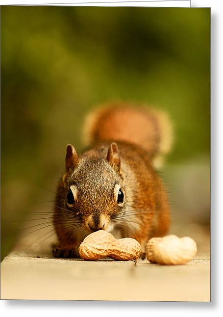 Squirrel Greeting Cards - Red Squirrel   Greeting Card by Cale Best