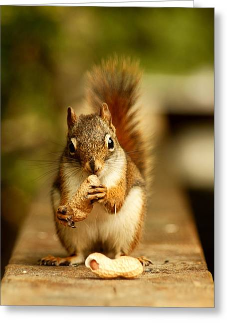 Squirrels Greeting Cards - Red Squirrel Greeting Card by Cale Best