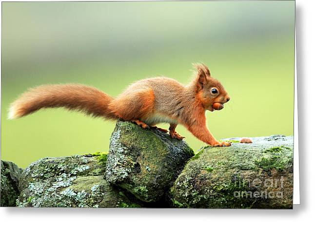 Clare Scott Greeting Cards - Red Squirrel Greeting Card by Clare Scott