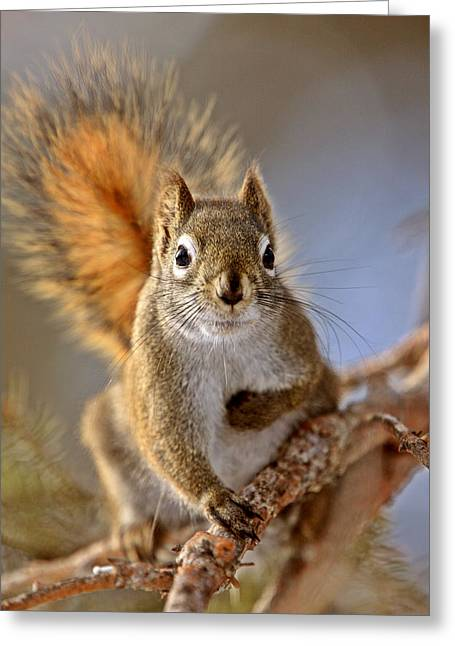 Cute Tree Images Greeting Cards - Red Squirrel in Winter Canada Greeting Card by Mark Duffy