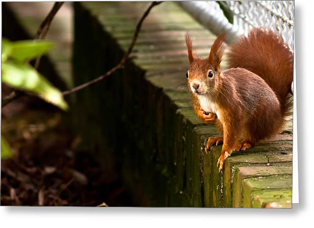 Squirrels Greeting Cards - Red Squirrel Greeting Card by Justin Albrecht