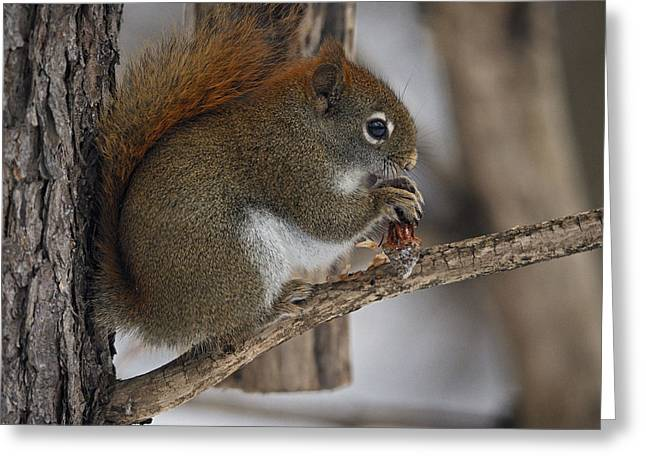 Red Squirrel Greeting Cards - Breakfast... Greeting Card by Nina Stavlund