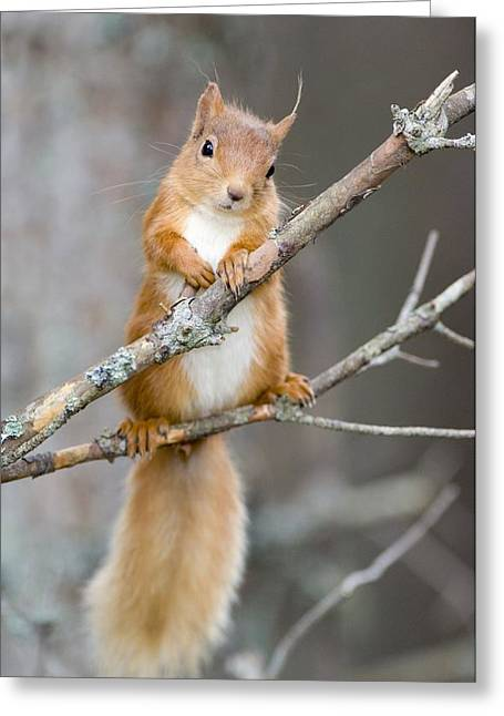 Forest Floor Greeting Cards - Red Squirrel On A Branch Greeting Card by Duncan Shaw