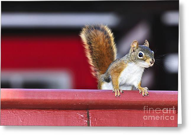Sat Greeting Cards - Red squirrel on railing Greeting Card by Elena Elisseeva