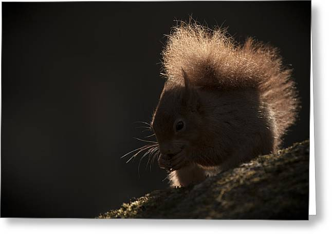 Red Squirrel Greeting Cards - Red Squirrel with Backlighting Greeting Card by Andy Astbury