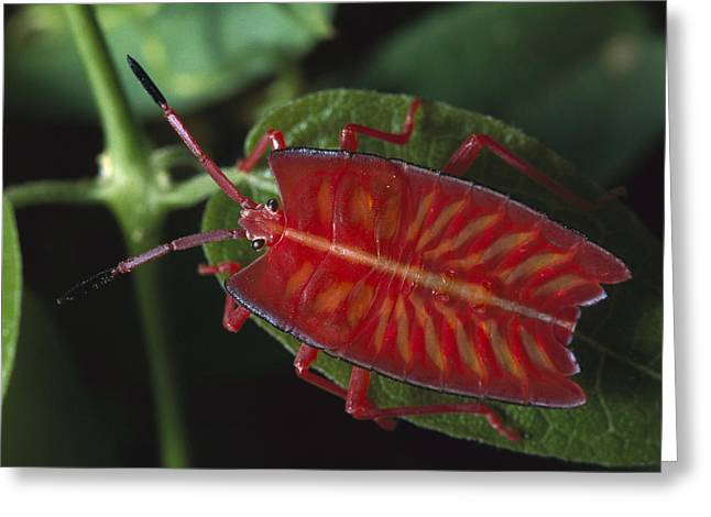 Animals And Insects Greeting Cards - Red Stink Bug Pycanum Rubeus, Northeast Greeting Card by Gerry Ellis