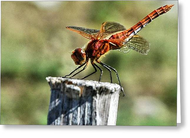 Macro Dragonfly Picture Greeting Cards - Red sunshine Greeting Card by Don Mann
