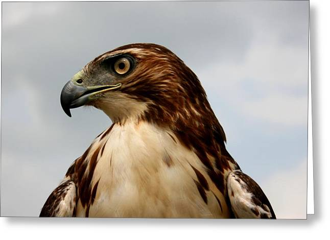 Red Falcon Greeting Cards - Red Tail Hawk 1 Greeting Card by David Dunham