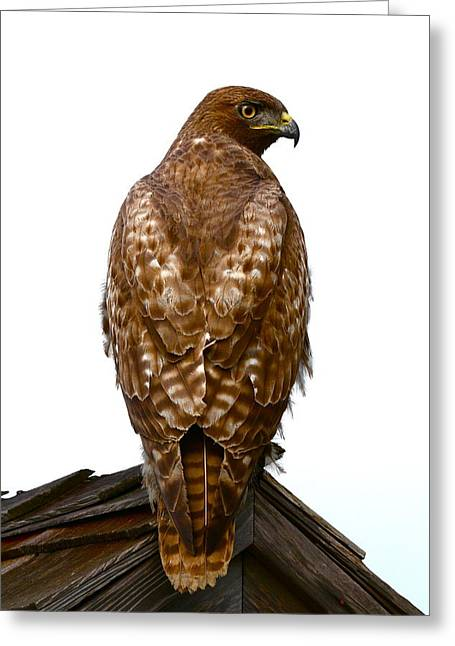 Nature Poster Greeting Cards - Red Tail Hawk Greeting Card by Paul Marto