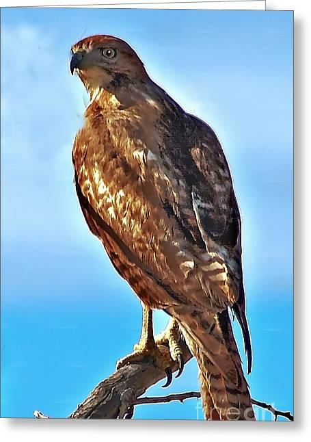 Red Tail Hawk Greeting Card by Robert Bales