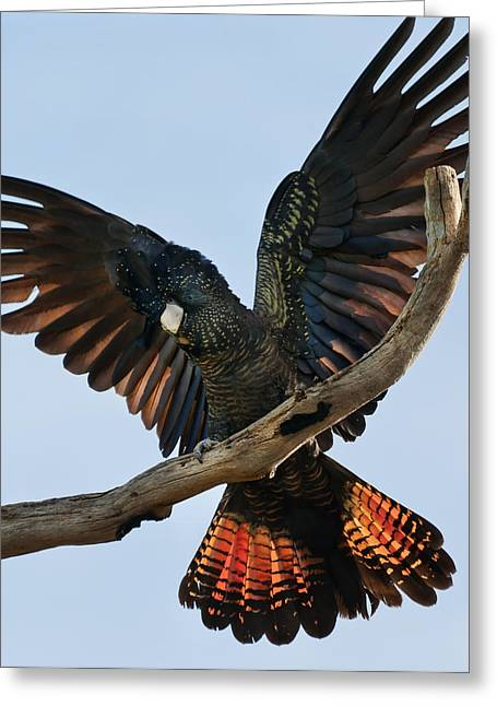 Australian Native Bird Greeting Cards - Red Tailed Black Cockatoo Greeting Card by Heather Thorning