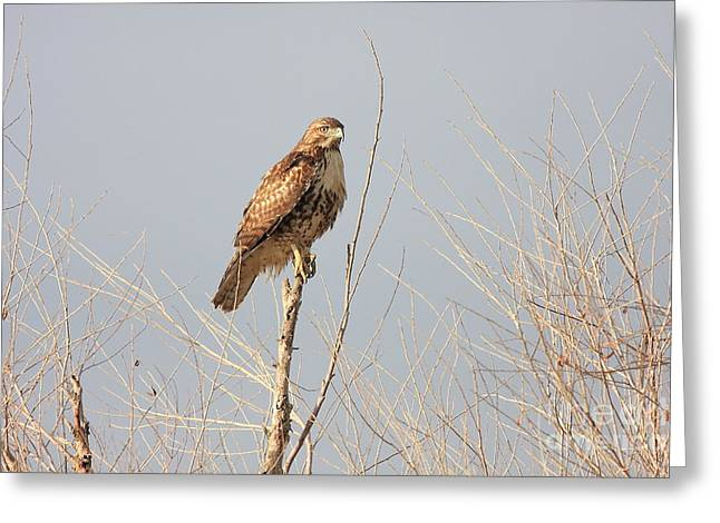 Red Tailed Hawk 20100101-5 Greeting Card by Wingsdomain Art and Photography