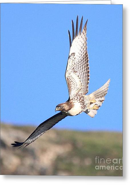 Flying Hawk Greeting Cards - Red-Tailed Hawk . 40D10968 Greeting Card by Wingsdomain Art and Photography