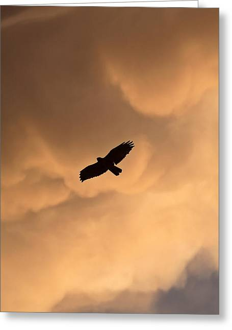 Red Tail Hawk Photo Greeting Cards - Red-tailed Hawk in flight in Saskatchewan Greeting Card by Mark Duffy