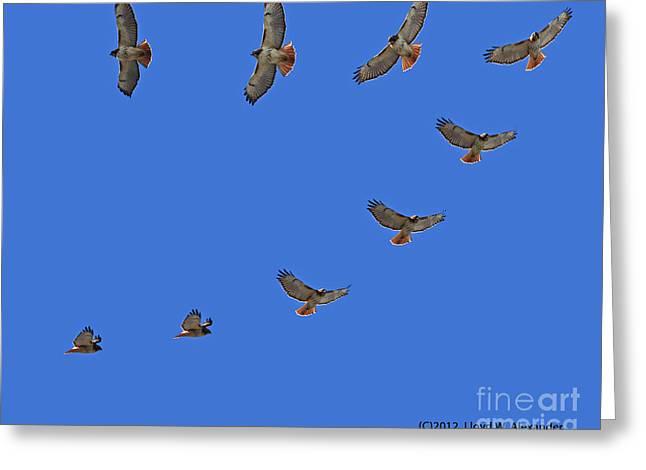 Lloyd Alexander Greeting Cards - Red Tailed Hawk in Flight Greeting Card by Lloyd Alexander