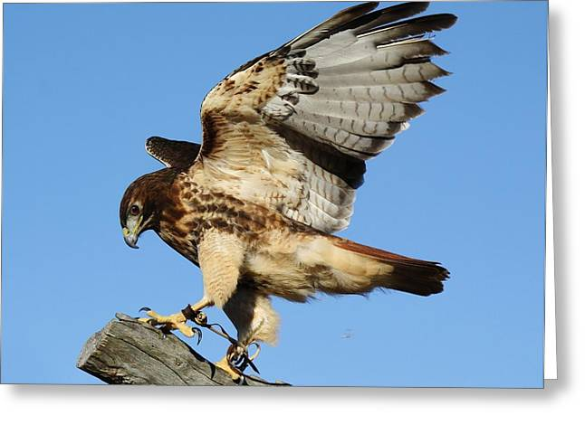Red Tailed Hawk Greeting Card by Paulette Thomas
