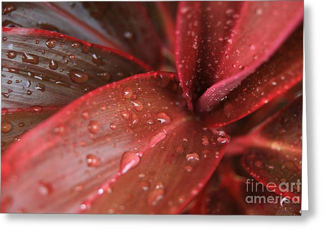 I Fiori Greeting Cards - Red Ti  -  Cordyline terminalis Greeting Card by Sharon Mau