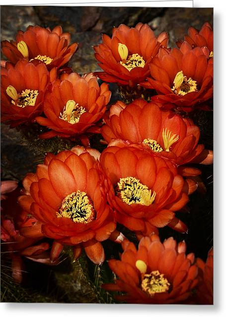 Torch Cactus Greeting Cards - Red Torch Bouquet Greeting Card by Saija  Lehtonen