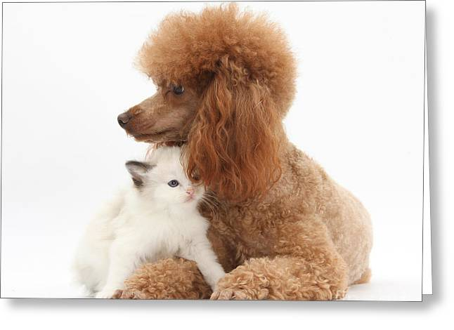 Domesticated Animal Greeting Cards - Red Toy Poodle And Kitten Greeting Card by Mark Taylor