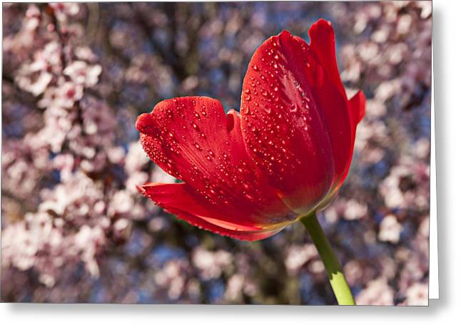 Red Tulip Against Cherry Tree Greeting Card by Garry Gay