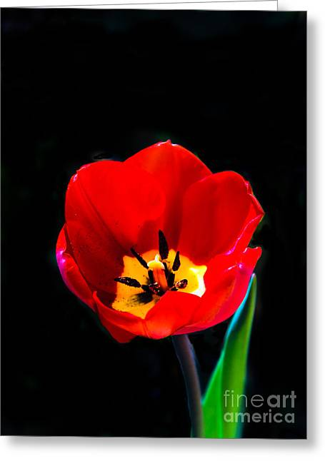 Picturesqueness Greeting Cards - Red Tulip Greeting Card by Robert Bales