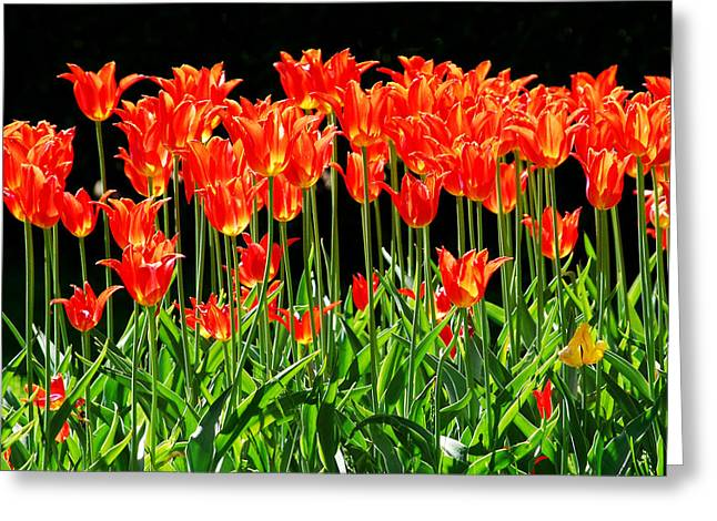 Garden Art Pyrography Greeting Cards - Red Tulips Greeting Card by Conny Sjostrom
