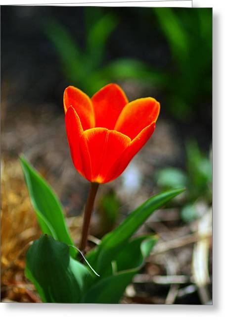 Express Greeting Cards - Red Tulips II Greeting Card by Paul Ge