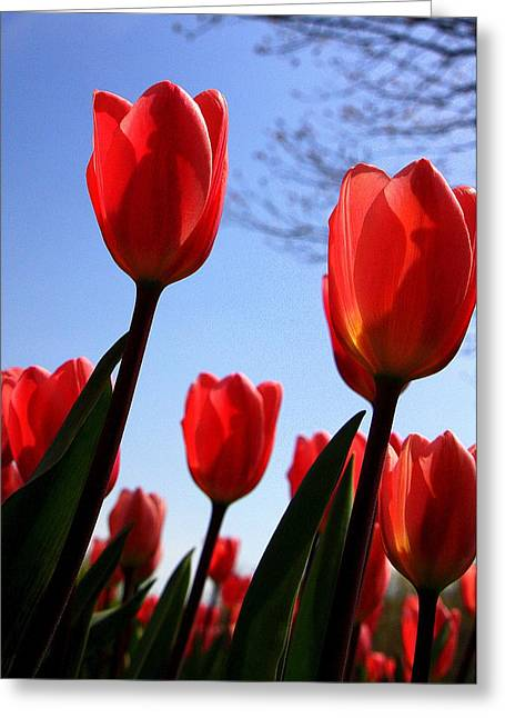 Floral Photographs Greeting Cards - Red Tulips in Springtime Greeting Card by Tam Graff