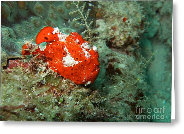 Snorkel Greeting Cards - Red Ugly Frogfish Greeting Card by MotHaiBaPhoto Prints