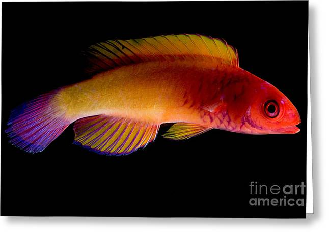 Reef Fish Greeting Cards - Red Velvet Fairy Wrasse Greeting Card by Danté Fenolio