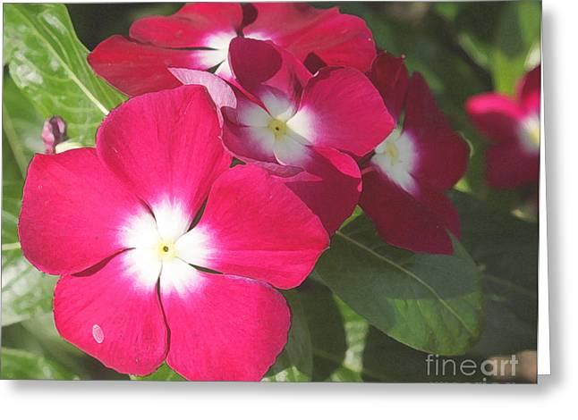Vinca Flowers Greeting Cards - Red Vincas Greeting Card by David Bearden
