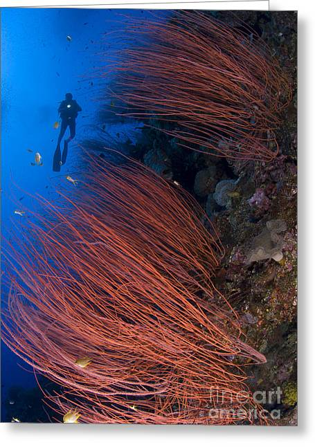 New Britain Greeting Cards - Red Whip Coral Sea Fan With Diver Greeting Card by Steve Jones