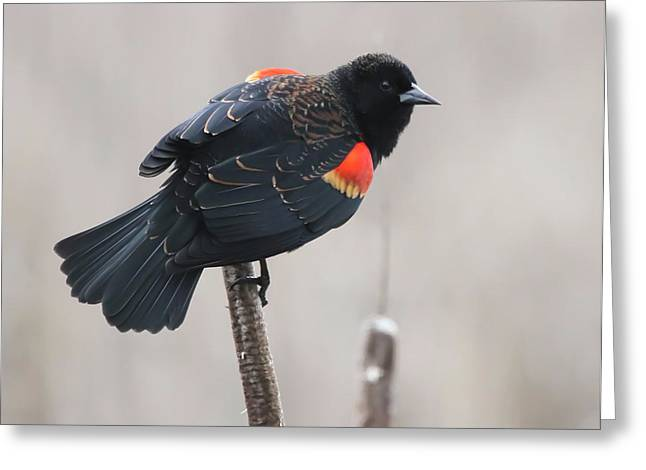 Wildlife Refuge. Greeting Cards - Red-Winged Blackbird Greeting Card by Angie Vogel