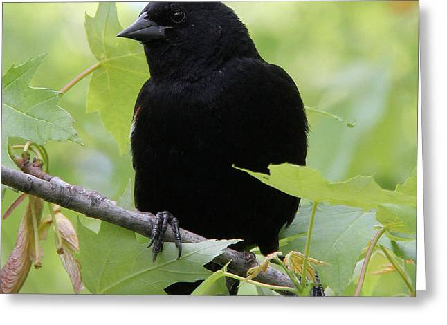 Red-winged Blackbird Greeting Card by Doris Potter