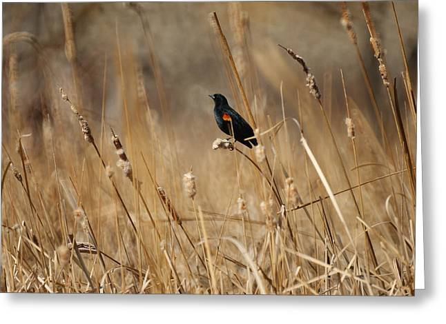 Blackbird Greeting Cards - Red Winged Blackbird Greeting Card by Ernie Echols