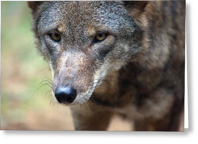 Critically Endangered Animal Greeting Cards - Red Wolf Closeup Greeting Card by Karol  Livote