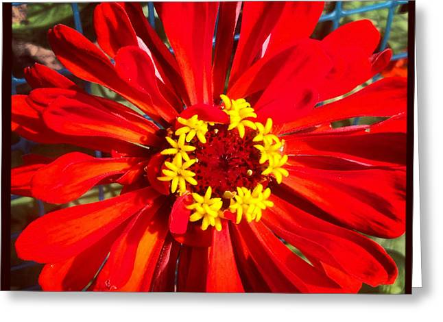 Red Zinnia Greeting Card by Christine Segalas