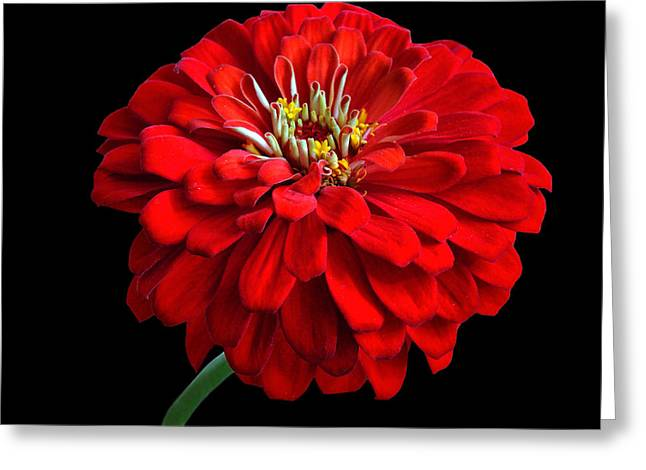 Indiana Flowers Greeting Cards - Red Zinnia Greeting Card by Sandy Keeton