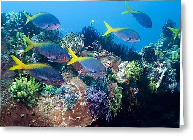 Fusilier Fish Greeting Cards - Redbelly Yellowtail Fusiliers Greeting Card by Georgette Douwma